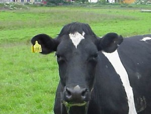 black_and_white_cow